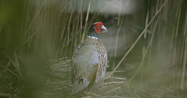 History of the Pheasant